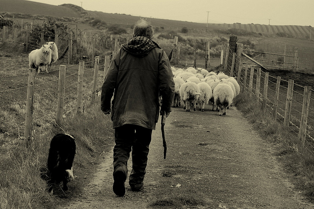 farmer and sheep